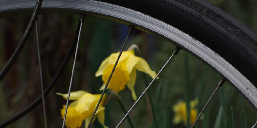 Photo of bike wheel and daffodils