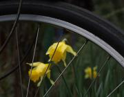 Photo of bike wheel and daffodils